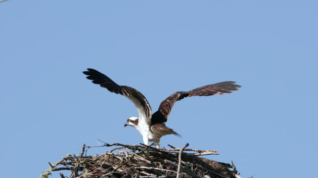 MS 4K shot of an osprey (Pandion haliaetus) landing in the nest