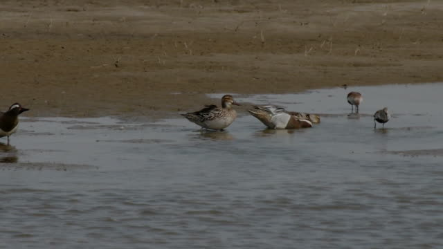 Shot of Anas querquedula on Coastal Feature