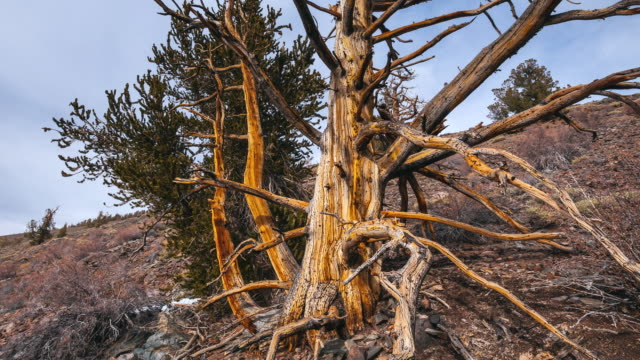 MS T/L Shot of Ancient Bristlecone Pine Forest / Inyo County, California, United States
