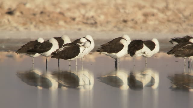 MS Shot of Andean Avocet, Recurvirostra andina roosting and preening in shallows / San Pedro de Atacama, Norte Grande, Chile