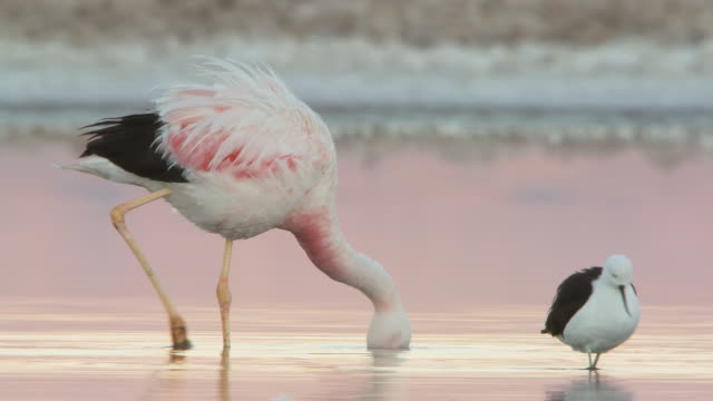 vídeos de stock e filmes b-roll de ms shot of andean flamingo, phoenicoparrus andinus walking in shallows feeding / san pedro de atacama, norte grande, chile - grupo pequeno de animais