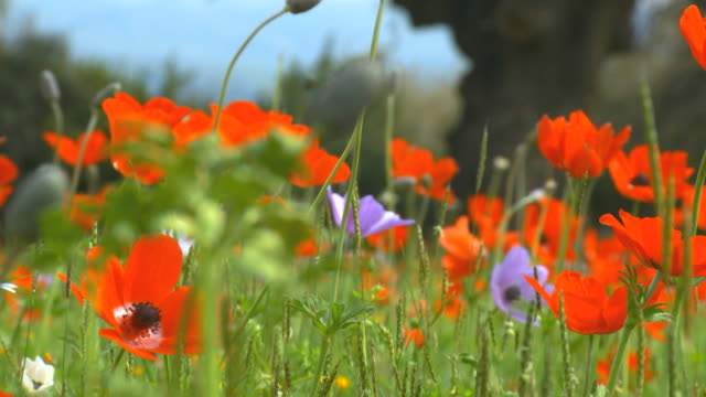 CU Shot of anemones, colorful wild flower bloom with park at spring / Galilee, Israel