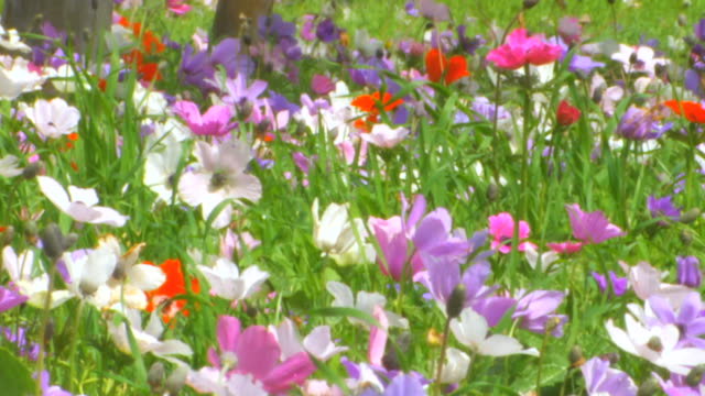 CU Shot of anemonies, colorful wild flower bloom in park at spring / Israel