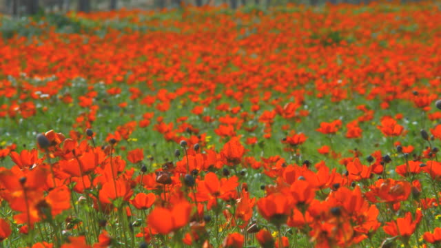 ms r/f shot of anemonies, red wild flower bloom in park / israel - mediterranean culture stock videos & royalty-free footage