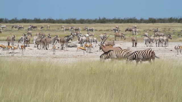 vídeos de stock e filmes b-roll de ws shot of antelope, oryx and zebra grazing in grassy field / ongava, kunene, namibia - wiese