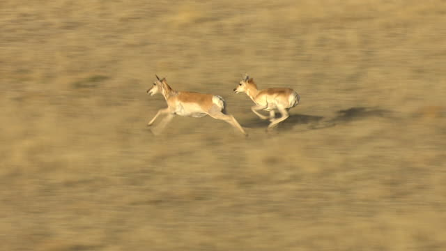 CU AERIAL ZI Shot of antelope running through grass plain in Mora County / New Mexico, United States