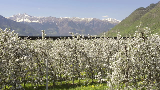 ms shot of apple blossom (malus) in flowering orchard in front of alps / merano, south tyrol, italy - frutteto video stock e b–roll