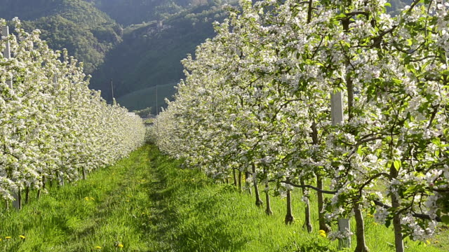 ms shot of apple blossom (malus) in flowering orchard / merano, south tyrol, italy - orchard stock videos and b-roll footage