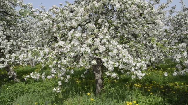 ms tu shot of apple blossom (malus) in flowering orchard / merano, south tyrol, italy - orchard stock videos and b-roll footage