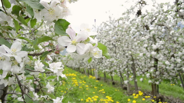 CU Shot of Apple blossom (Malus) in flowering orchard / Merano, South Tyrol, Italy