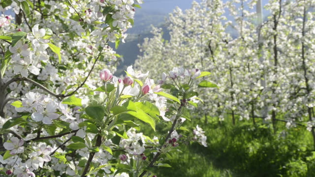 ms shot of apple blossom (malus) in flowering orchard / merano, tyrol, italy - blossom stock videos & royalty-free footage