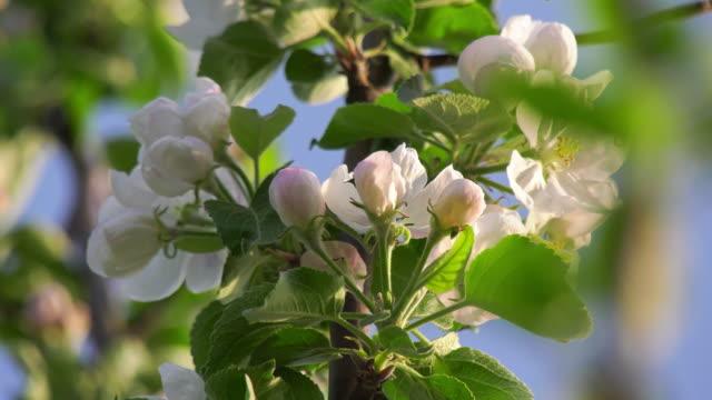 vidéos et rushes de cu shot of apple blossoms - étamine