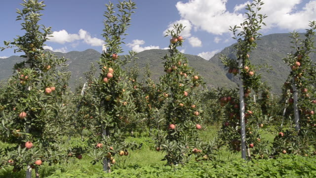 ms pan shot of apple orchard in front of mountains / merano, trentino, tyrol, italy - apple orchard stock videos & royalty-free footage