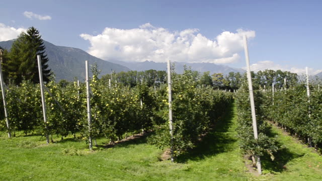 MS POV Shot of apple orchard in Vilpiano / Merano, Trentino, South Tyrol, Italy