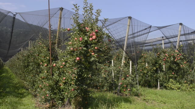 ms pan shot of apple orchard under covered / merano, trentino, tyrol, italy - apfel stock-videos und b-roll-filmmaterial