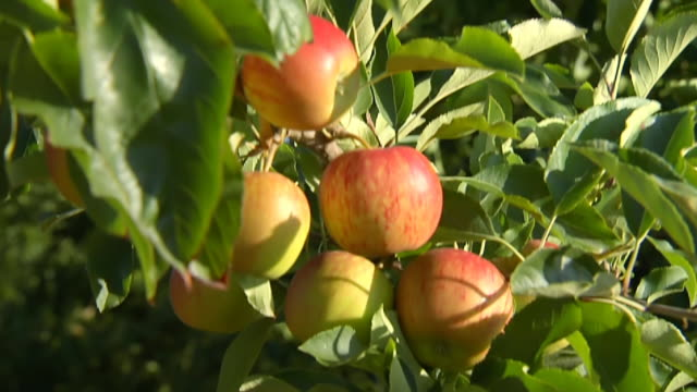 cu shot of apples hanging from tree / south africa - focus on background stock videos and b-roll footage