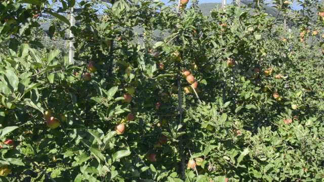 ms pan shot of apples on tree in apple orchard / merano, trentino, tyrol, italy - orchard stock videos and b-roll footage