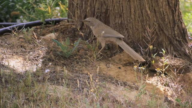 ms ts shot of arabian babbler (turdoides squamiceps) standing on acacia tree / sde boker, negev desert, israel - negev stock videos & royalty-free footage