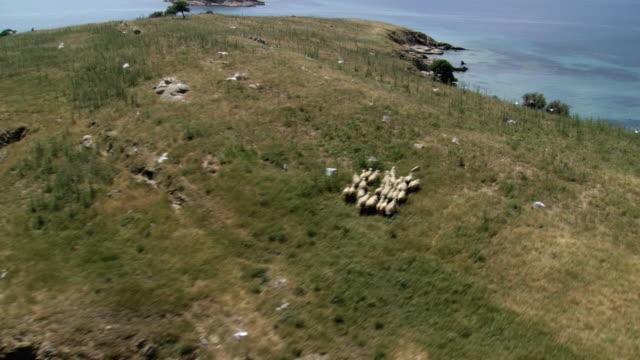 ms aerial shot of artemi island coast and rocks with running sheep herd / artemi, macedonia, greece - griechenland stock-videos und b-roll-filmmaterial