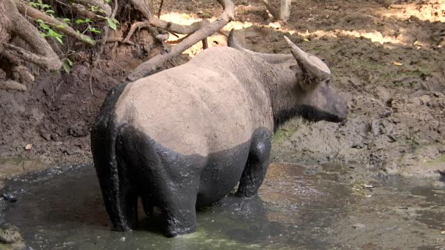ms shot of asian water buffalo in water / rinca island,  indonesia - water buffalo stock videos & royalty-free footage