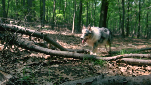 stockvideo's en b-roll-footage met ws slo mo pan shot of australian shepherd running over wood logs in woods / morristown, new jersey, united states - australische herder