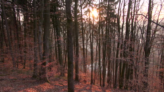 ms shot of autmn beech forest / orscholz, saarland, germany - beech tree stock videos and b-roll footage