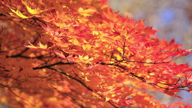 vídeos y material grabado en eventos de stock de cu shot of autumn leaves blowing in breeze / nikko, tochigi prefecture, japan - arce