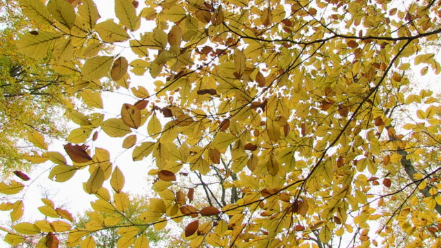 ms shot of autumnal leaves at woodland / orscholz, saarland, germany - branch plant part stock videos & royalty-free footage