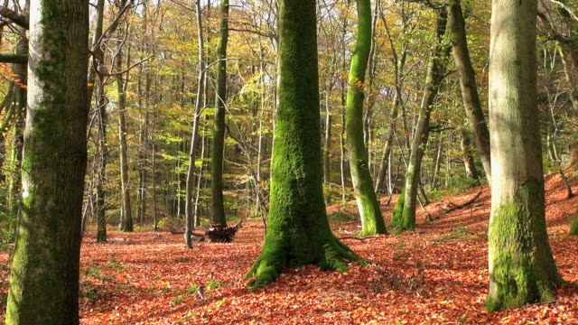 ws shot of autumnal woodland / freudenburg, rhineland palatinate, germany - tree trunk stock videos & royalty-free footage