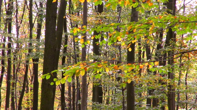 MS Shot of autumnal woodland / Freudenburg, Rhineland Palatinate, Germany