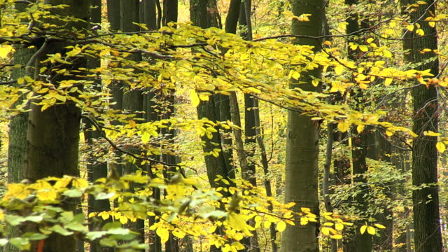 ms shot of autumnal woodland / orscholz, saarland, germany - branch plant part stock videos & royalty-free footage
