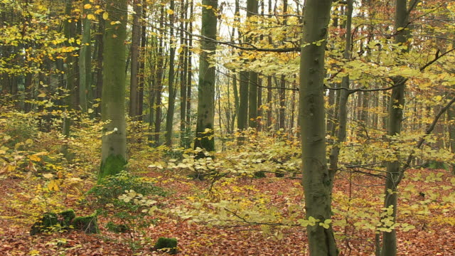 MS PAN Shot of autumnal woodland / Orscholz, Saarland, Germany