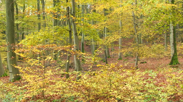 MS Shot of autumnal woodland / Orscholz, Saarland, Germany
