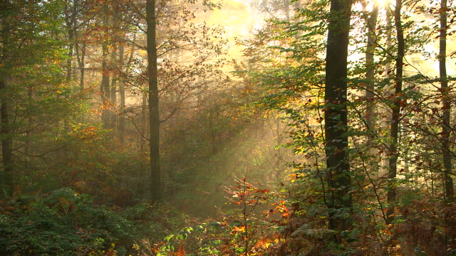 ms shot of autumnal woodland with fog and sun / freudenburg, rhineland palatinate, germany - 木漏れ日点の映像素材/bロール
