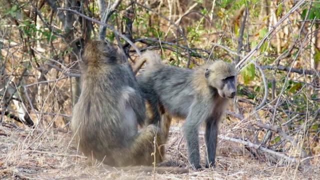 ms shot of baboons lousing each othe /  kruger national park, south africa - krüger nationalpark stock-videos und b-roll-filmmaterial