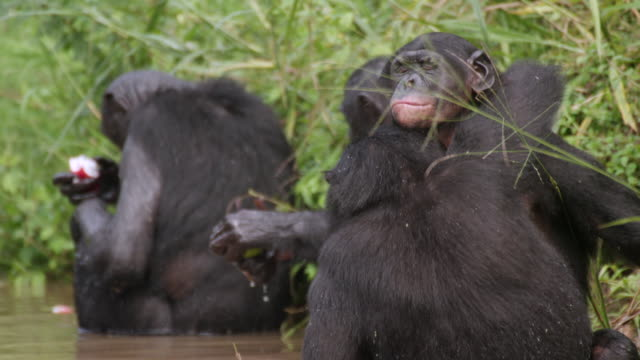 MS TS SLO MO Shot of Baby Bonobos sat on each other in grass then go into river / Kinshasa, Congo