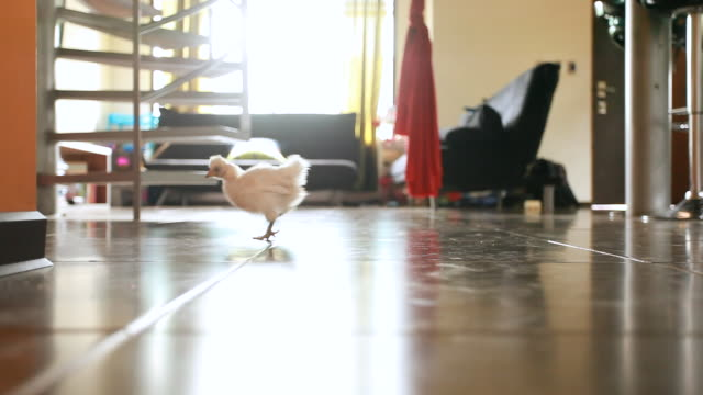 ms shot of baby chick crosses frame right to left in modern loft / montezuma, punteranes, costa rica - modern stock videos & royalty-free footage