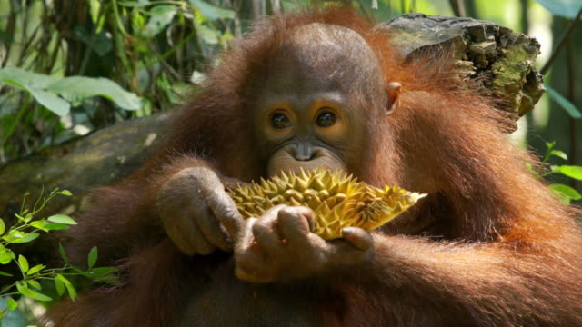 shot of baby orangutan eating durian fruit in island of borneo - borneo stock-videos und b-roll-filmmaterial