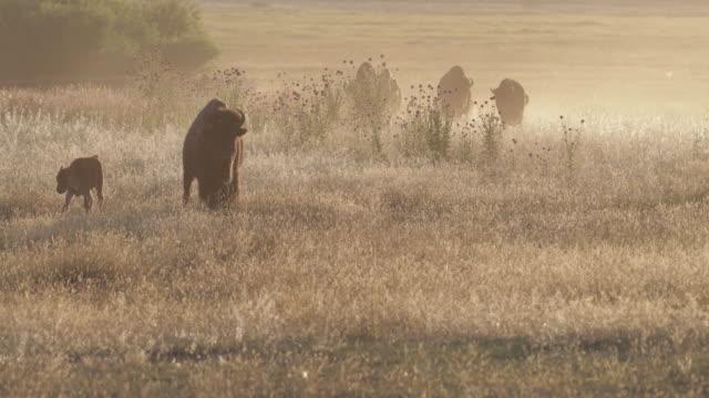 ws  4k  shot of backlit bison (bison bison) walking into the camera during the summer rut - herbivorous stock videos & royalty-free footage