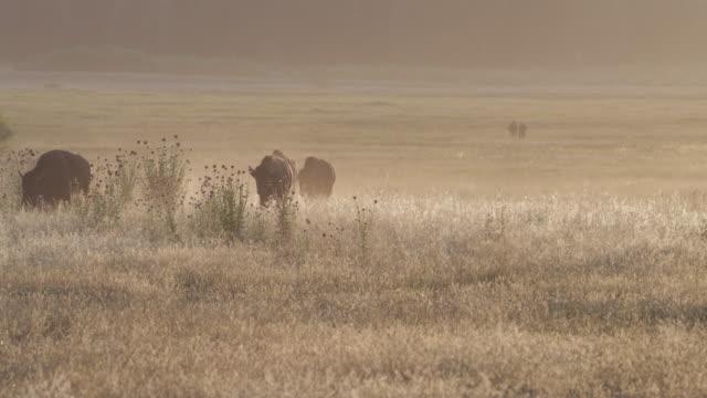ws  4k  shot of backlit bison (bison bison) walking into the camera during the summer rut - horned stock videos & royalty-free footage