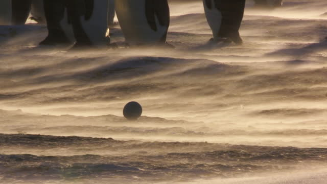 ms shot of backlit single emperor penguin egg in sunlight and blizzard with pairs of emperor penguins / dumon d urville station, adleie land, antarctica - medium group of animals stock videos & royalty-free footage