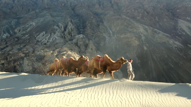 WS Shot of Bactrian camels with herder double hump / Ladakh, India