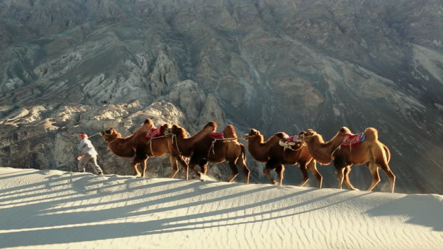 ws shot of bactrian camels with herder double hump / ladakh, india - herder stock videos & royalty-free footage