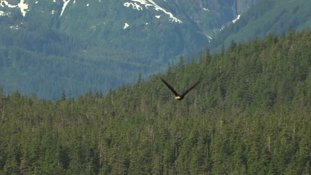 CU AERIAL TS Shot of Bald Eagle in flight in Seymour Canal / Alaska, United States