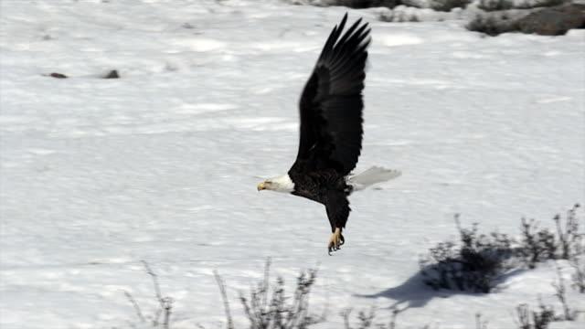 MS/SLOMO  shot of bald eagle (Haliaeetus leucocephalus) taking flight through the fresh snow