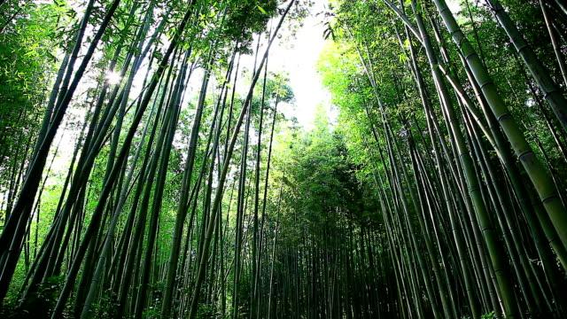 shot of bamboo forest at juknokwon (bamboo garden) - bamboo plant点の映像素材/bロール