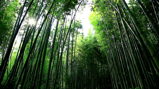 shot of bamboo forest at juknokwon (bamboo garden) - bamboo plant stock videos and b-roll footage