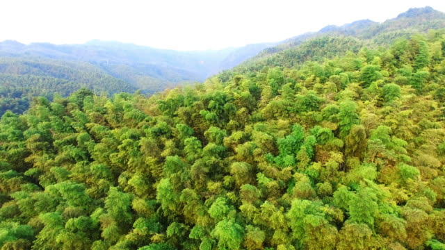 WS AERIAL shot of bamboo forest in morning,Sichuan,China.