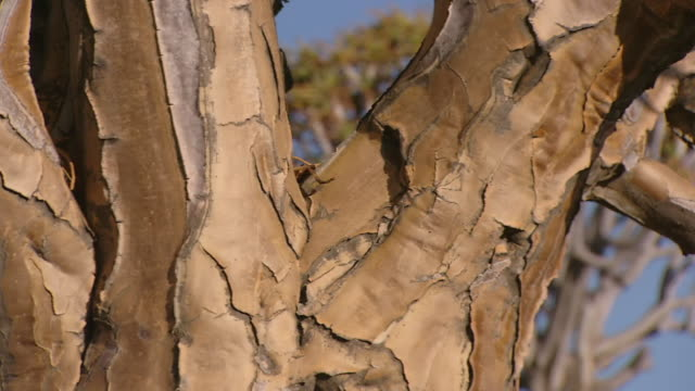 ECU PAN Shot of Baobab tree bark on trunk and branches / Limpopo, South Africa