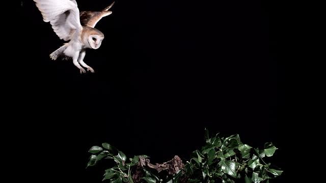 ms slo mo shot of barn owl landing on branch / vieux pont en auge, normandy, france - 動物の翼点の映像素材/bロール